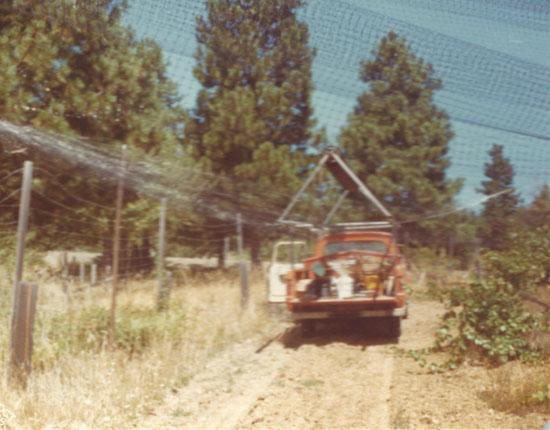 Early Oregon bird netting of vineyards